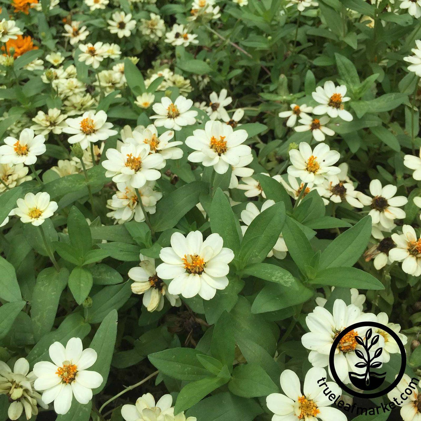 At Mountain Valley Seed Find Zinnia Seed From The Profusion Series