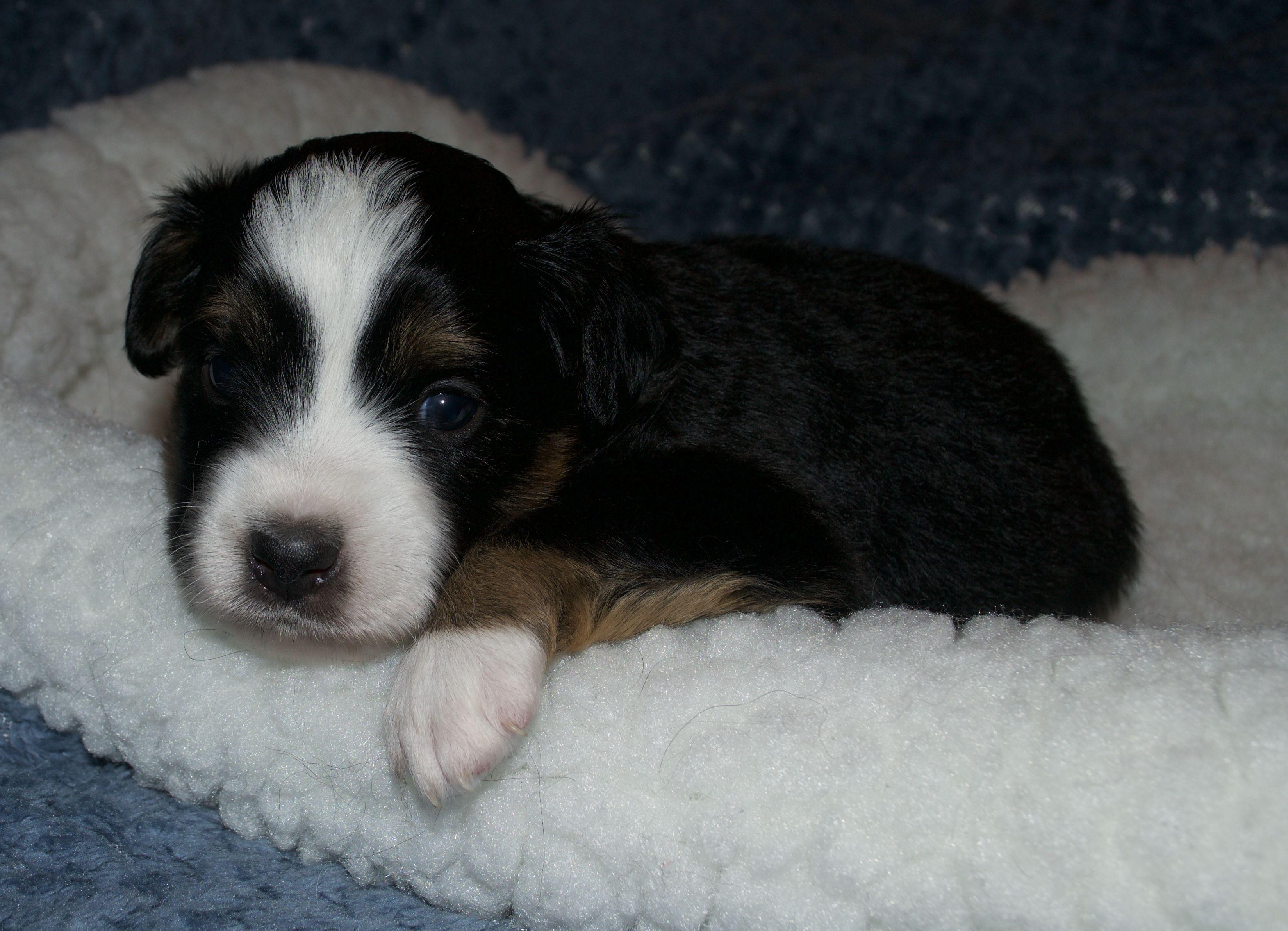 Black Tri Mini Aussie Puppy ready for adoption Mini