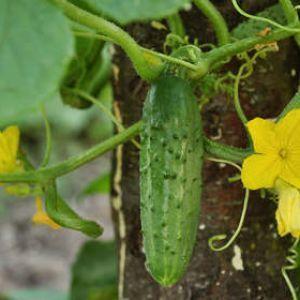 Concombre, cornichons : semis, culture, récolte | Culture ...