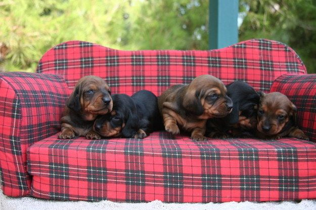 These Dachsund Puppies Cuddling On A Dachsund Puppy Sized Couch
