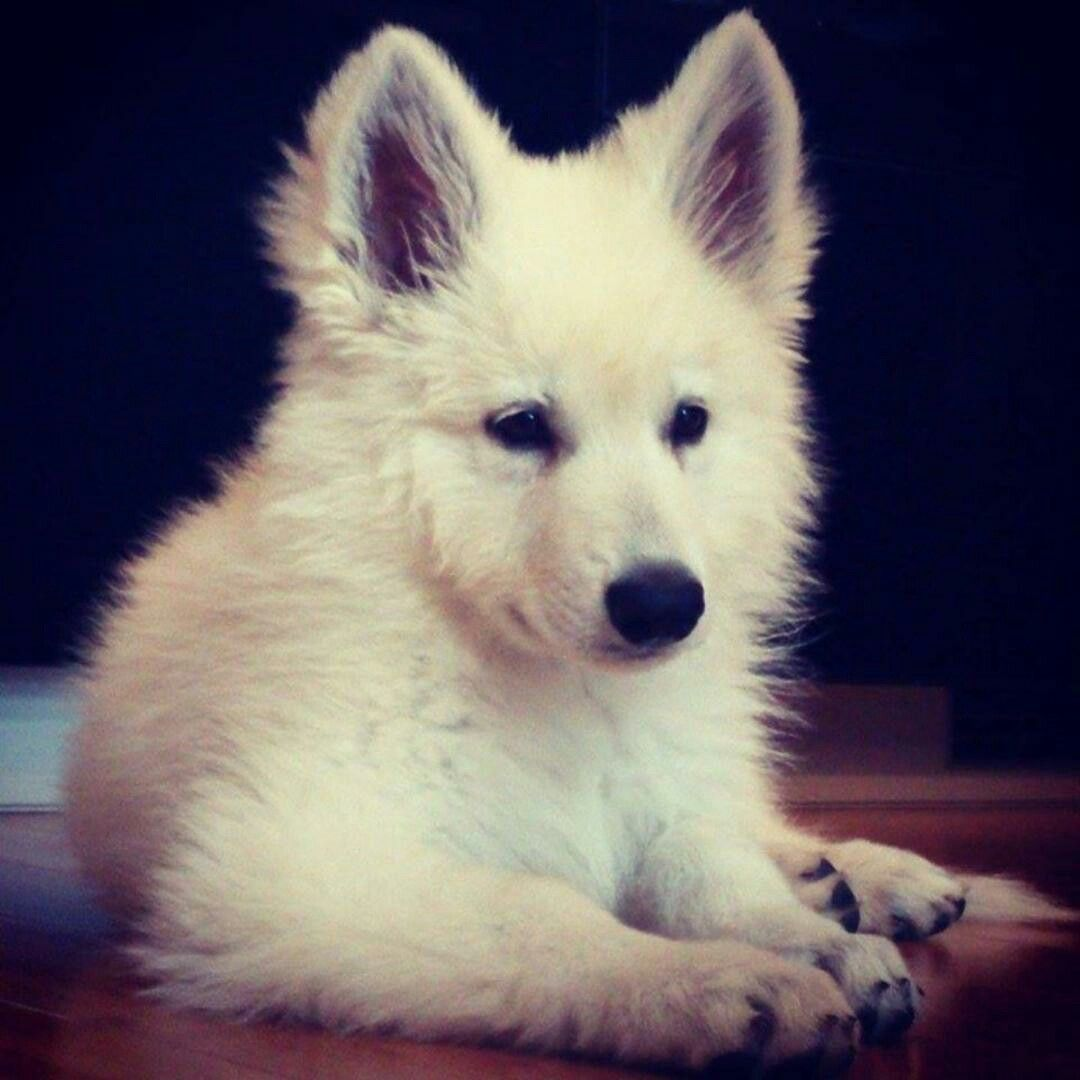 Mon Bebe Tout Blanc White Shepherd White Swiss Shepherd German Shepherd Dogs