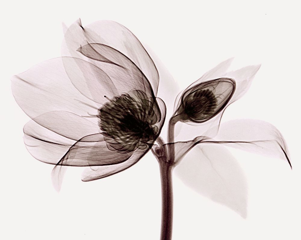 Unique X Ray Pictures Of Flowers
