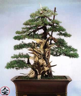 Bonsai… Juniperus, 300 years old - fb page Bonsai Kai