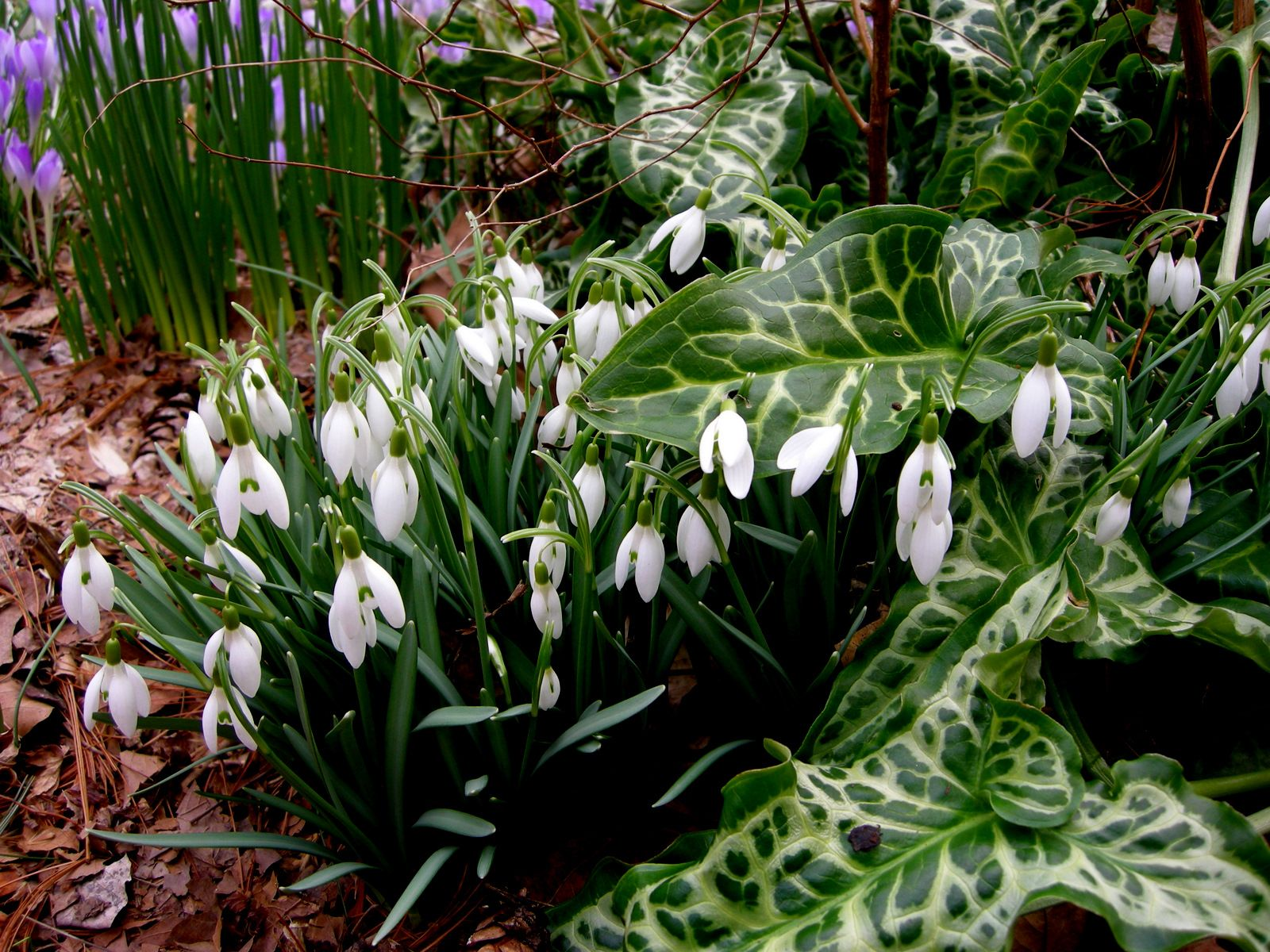 Common Snowdrops Pair Well With Snow Crocus Just Visible In The Background And Really Bring Out The Silver Patterning On T Shade Garden Plants Bulbous Plants