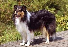 Padvital Collie Padvital Collie Hund Hunde Saugetiere