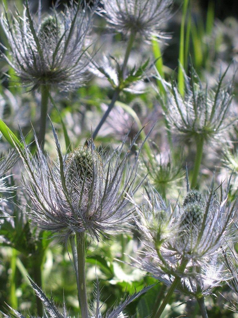 Синеголовник альпийский   Цветы, Растения, Садоводство