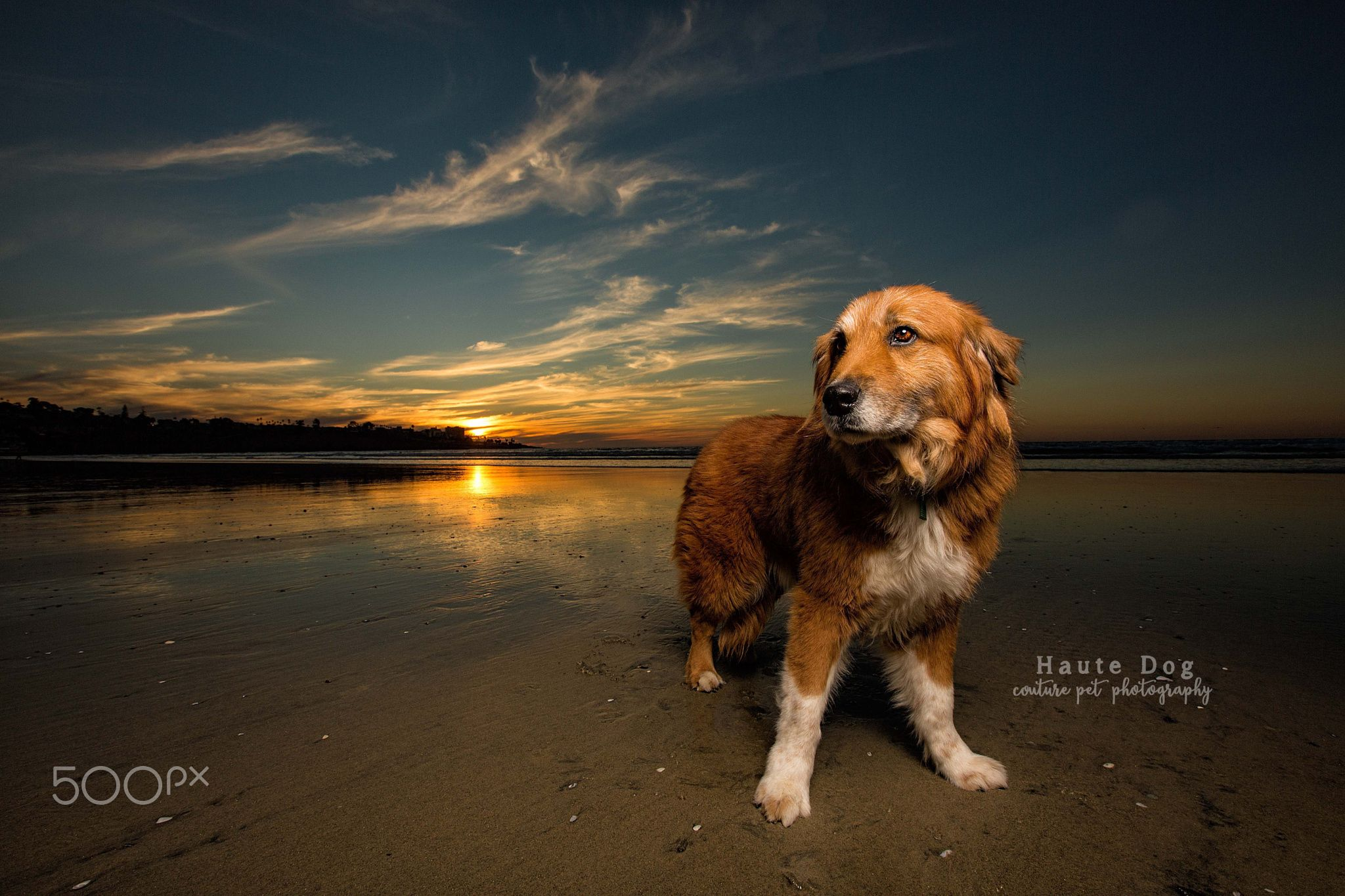 red bernese mountain dog at sunset by haute dog couture pet photography