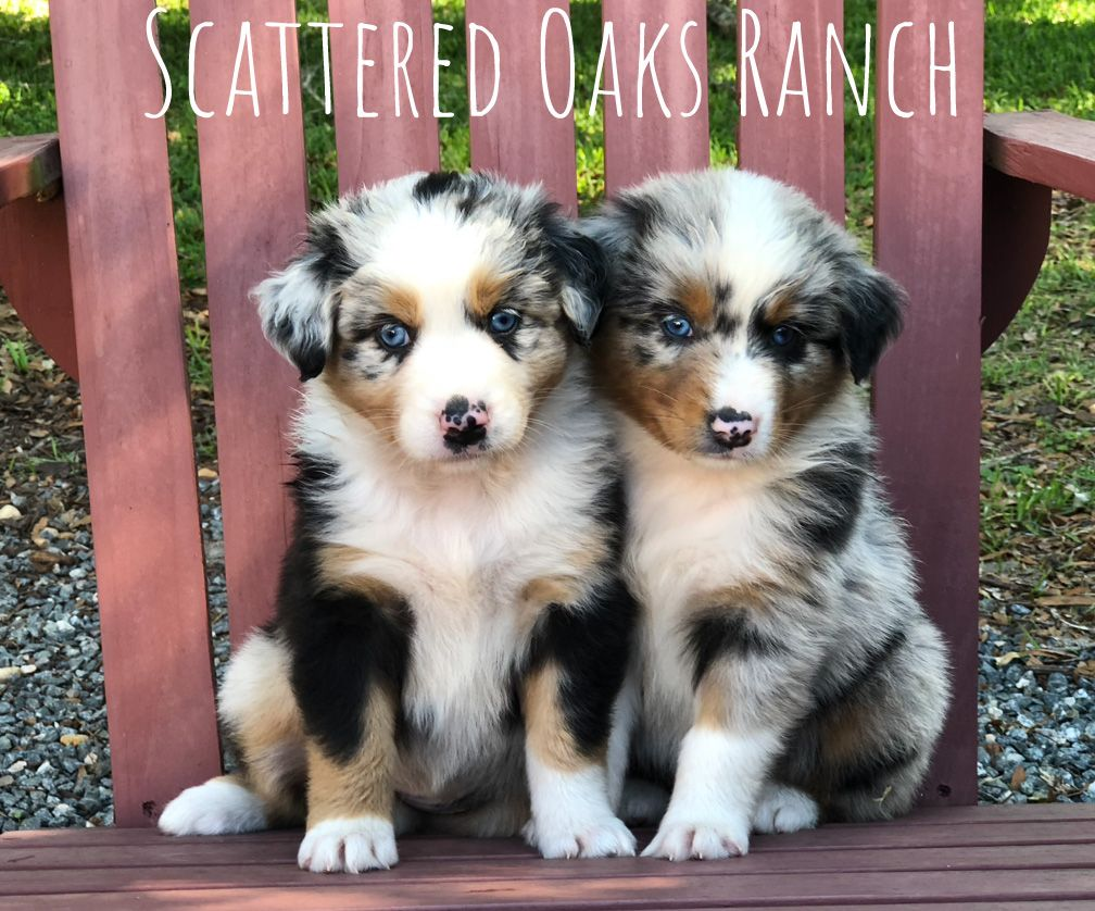 Blue Merle Australian Shepherd Scattered Oaks Ranch Australian