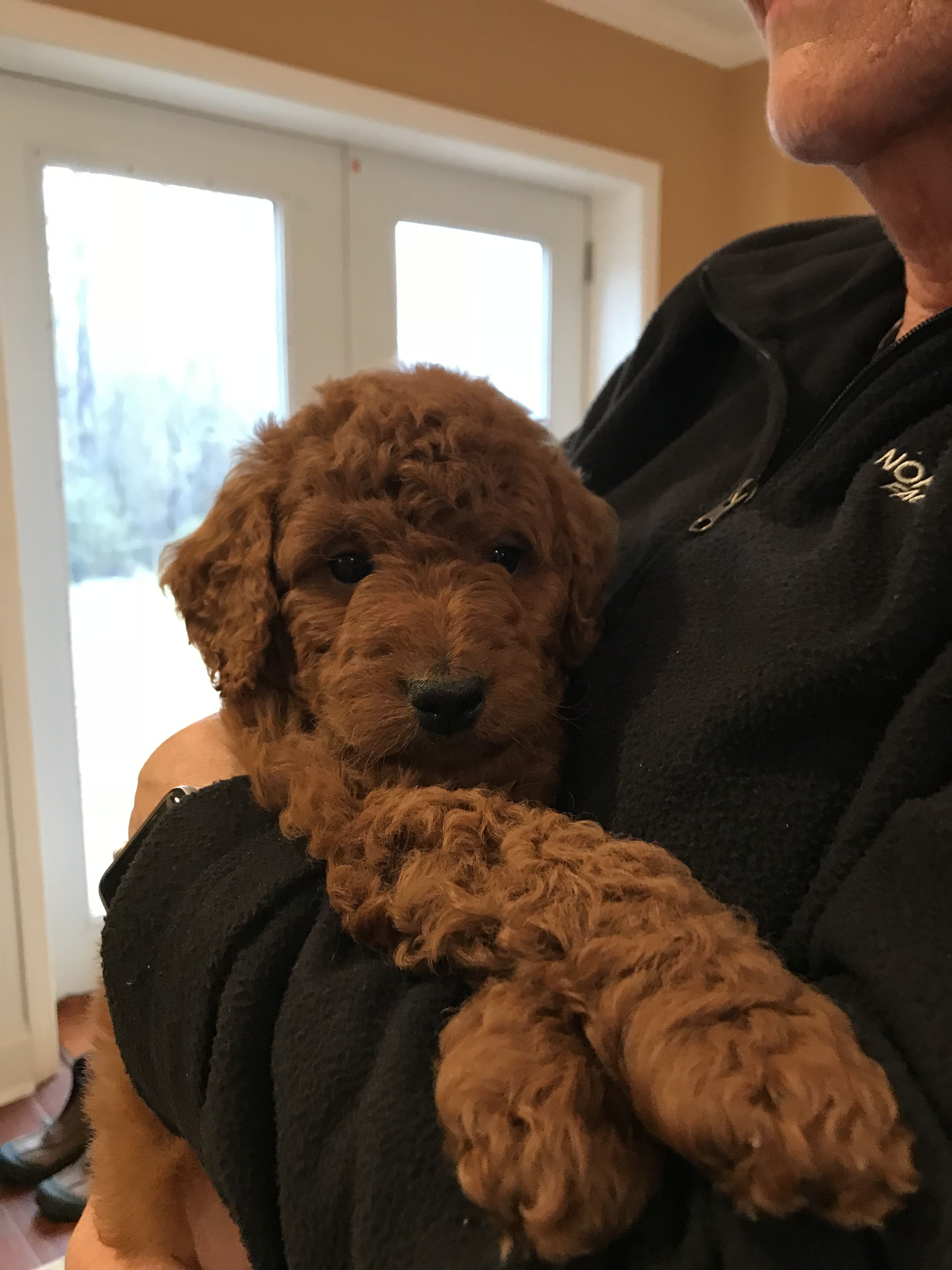 My Goldendoodle At 6 Weeks Old Get To Bring Him Home Next Week