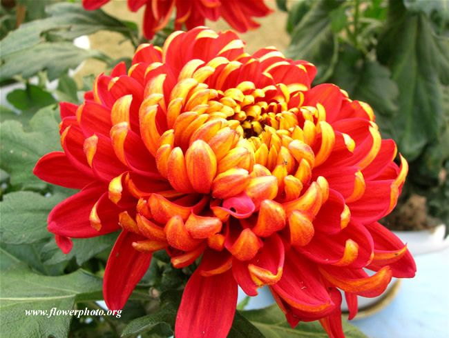 Red And Yellow Mum Photo Mums Flowers Red Chrysanthemums Flower Pictures