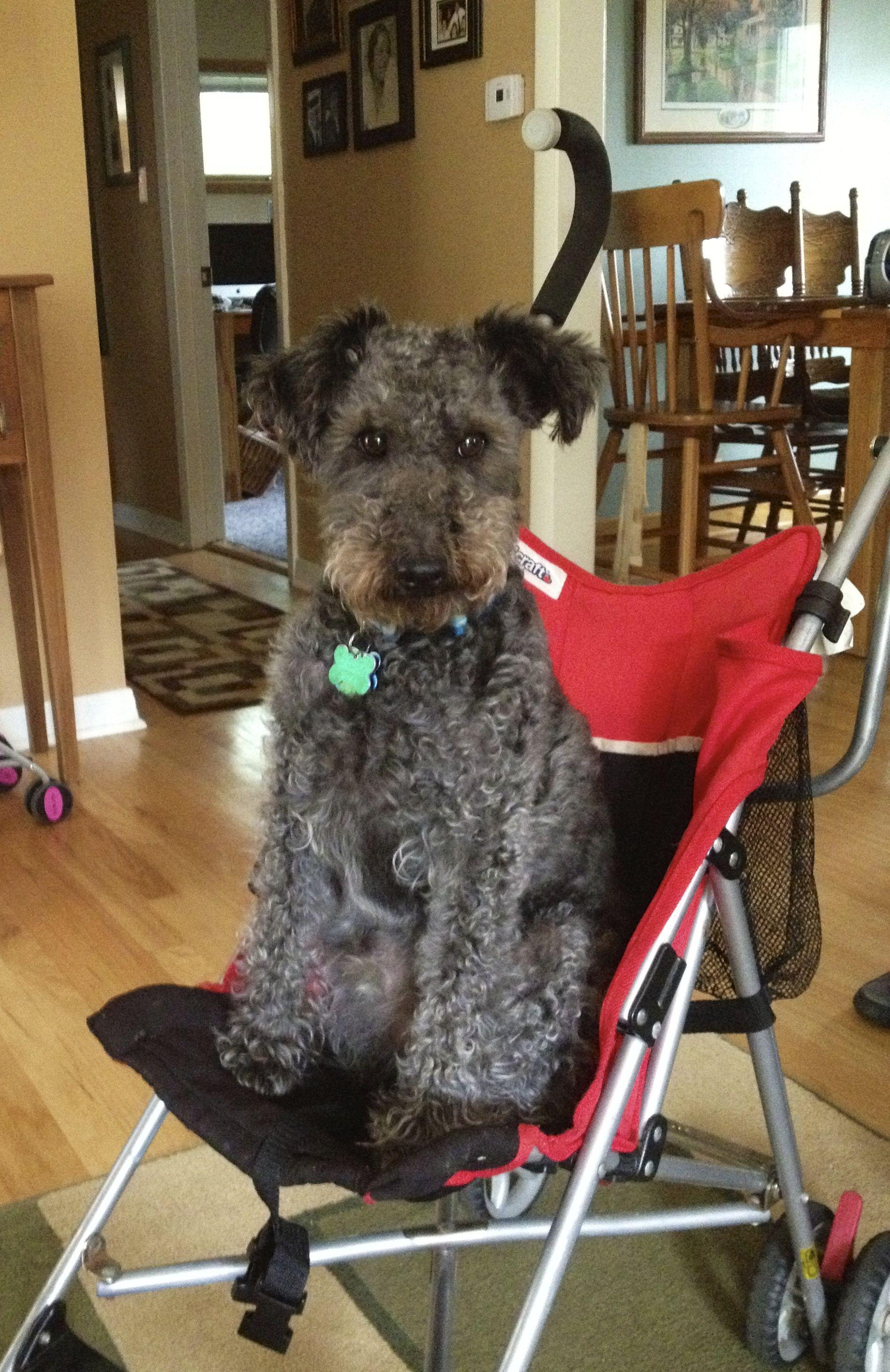 Tucker - Wire Fox Terrier mix w/ poodle Foxy Poo | OMD | Pinterest