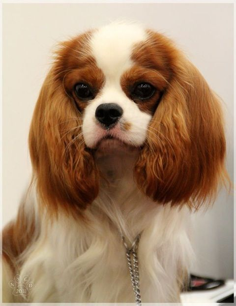 Sweet Puppy Face Cavalier King Charles Cavalier King Charles Dog King Charles Dog