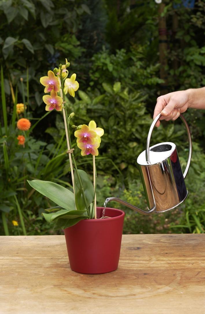 phalaenopsis die richtige pflege von orchideen. Black Bedroom Furniture Sets. Home Design Ideas