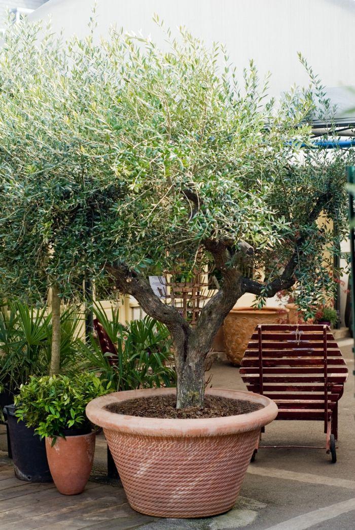 olivenbaum umtopfen pflanzenpflege gartenpflanzen Blumen und - gartenpflanzen