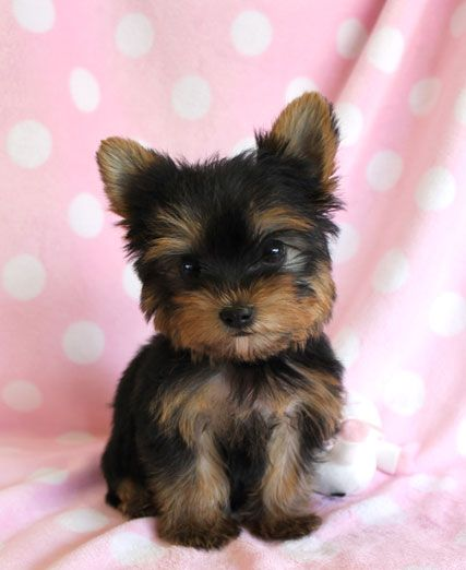 yorkie pomeranian puppies yorkie pomeranian google search cutest thing puppies 5485