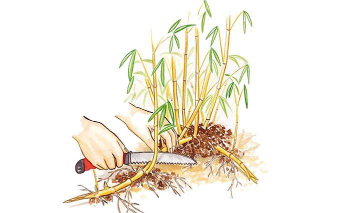 Bambus vermehren: So gelingt es