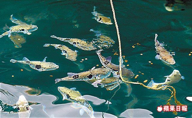 由幸的河豚養殖場以虎河豚為主,大約有上萬隻。