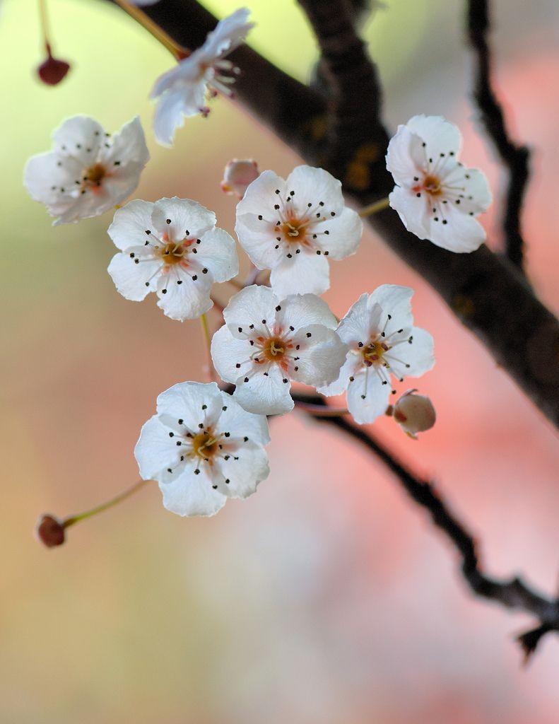 Pyrus calleryana flowers flower and flower power