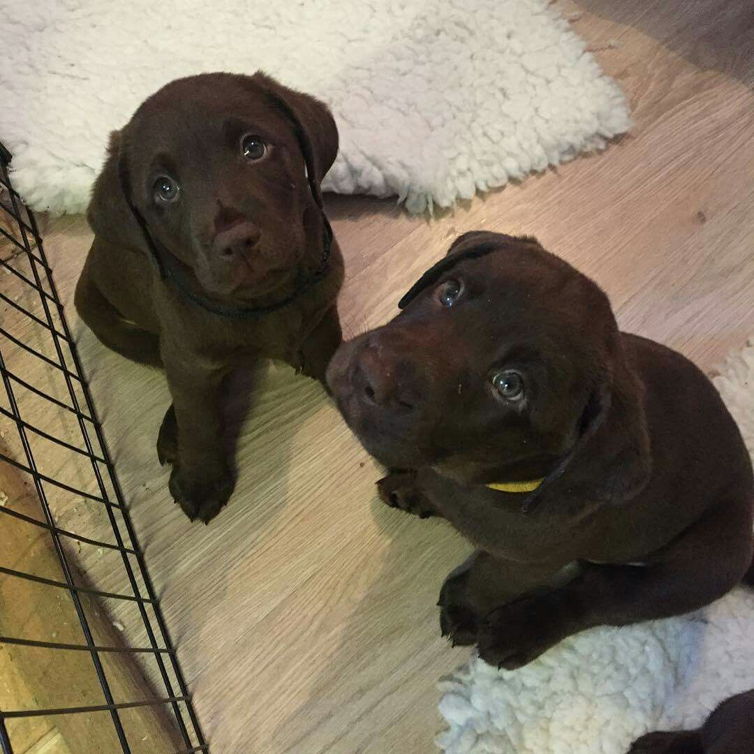 Pin By Katherine Burgess On Cute Labradors Cute Animals Dogs