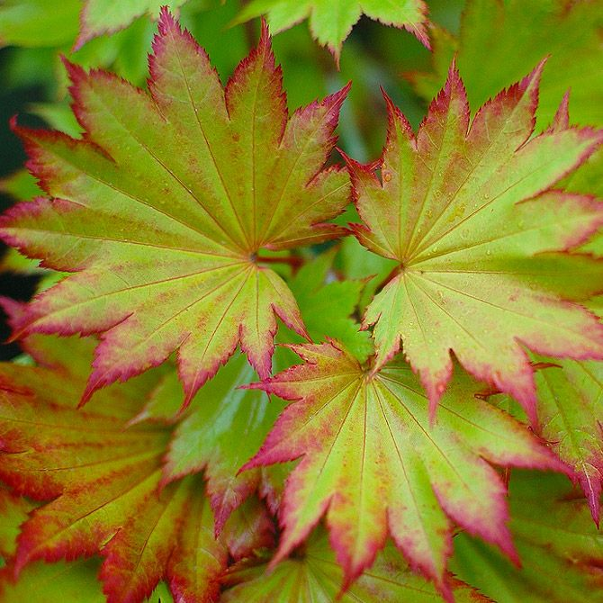 PlantFiles Pictures: Fernleaf Full Moon Maple, Japanese ... |Full Moon Maple Leaf