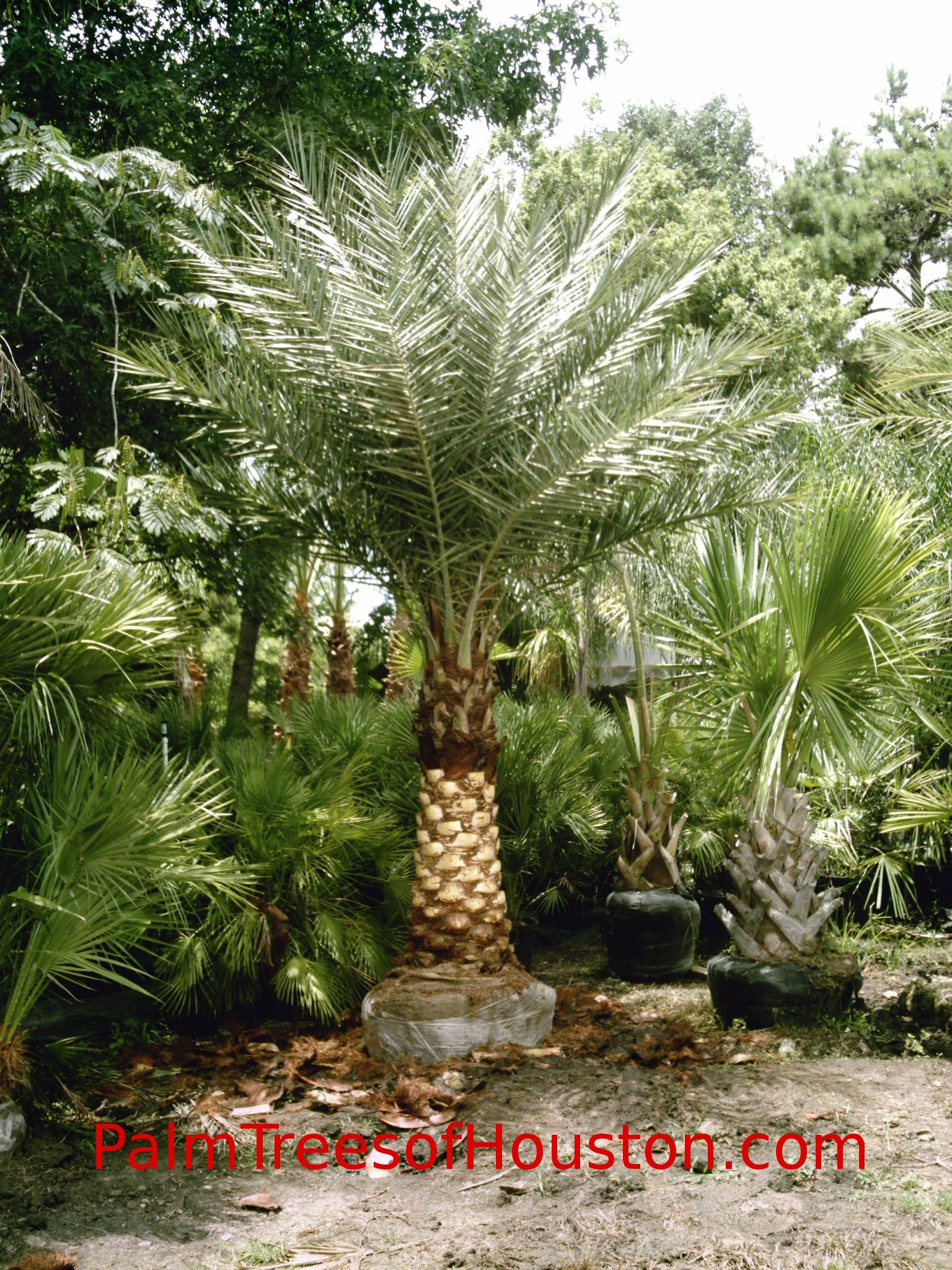 Houston Date Palm Tree Date Palms In Houston Texas Area