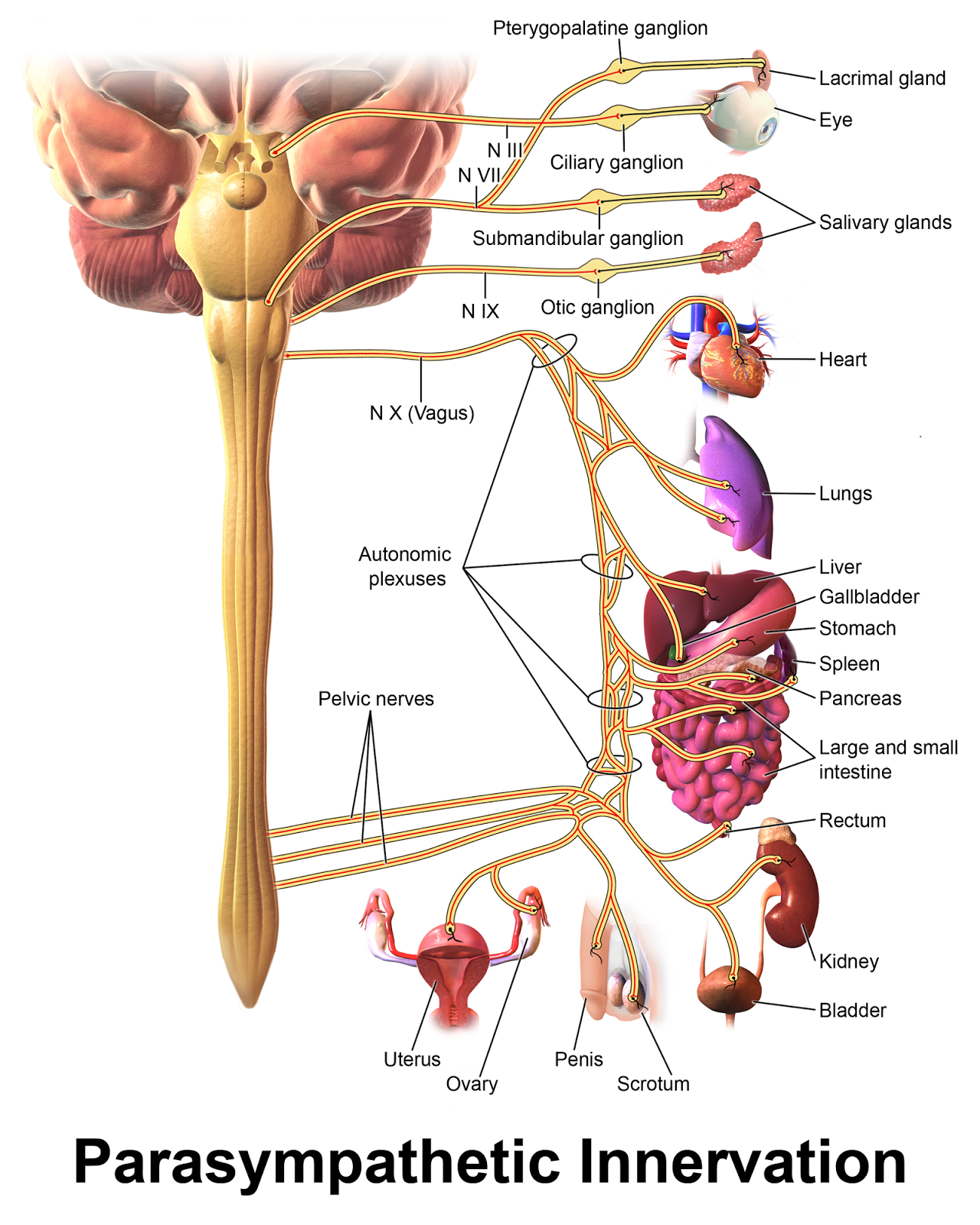 Human Anatomy and Physiology Diagrams: Parasympathetic Nervous ...