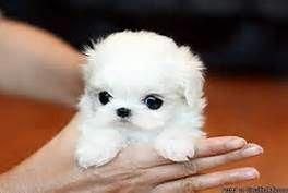 Teacup Maltese Puppies for Sale - Bing Images #cuteteacuppuppies