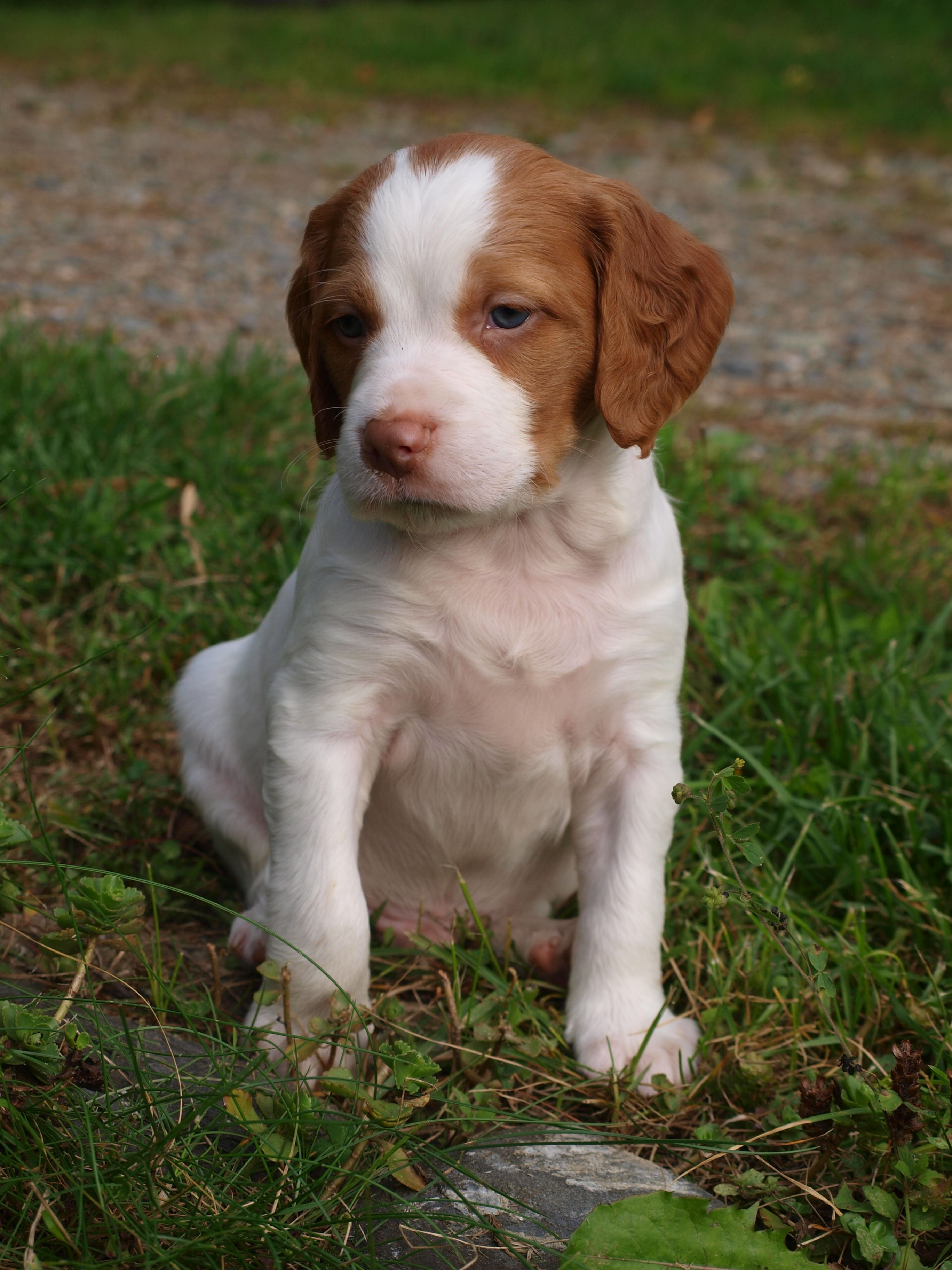 One Of Our Beautiful Brittany Pups