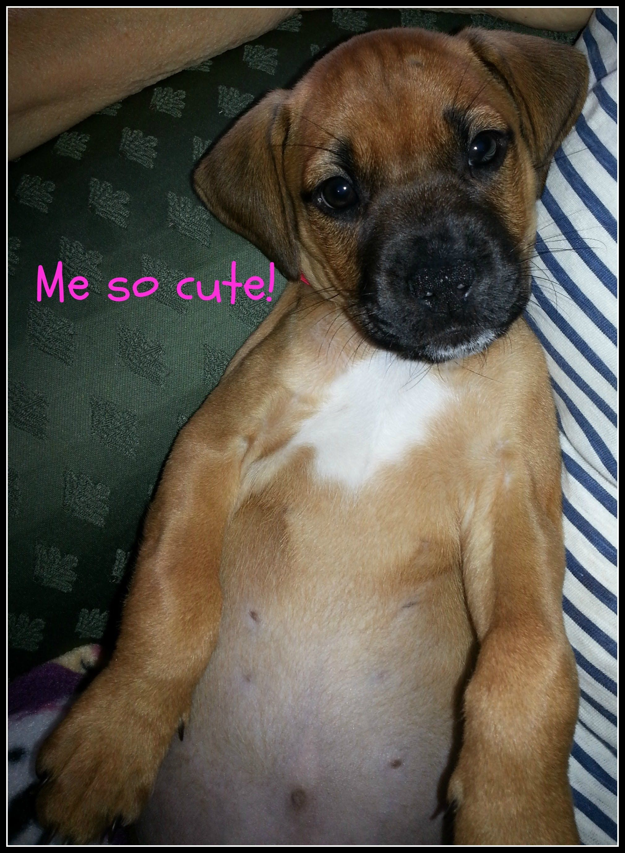 Meet Maxie 8 Week Old 6 Lb Pitbull Mix Puppy Pitbulls Pitbull Mix Pitbull Mix Puppies