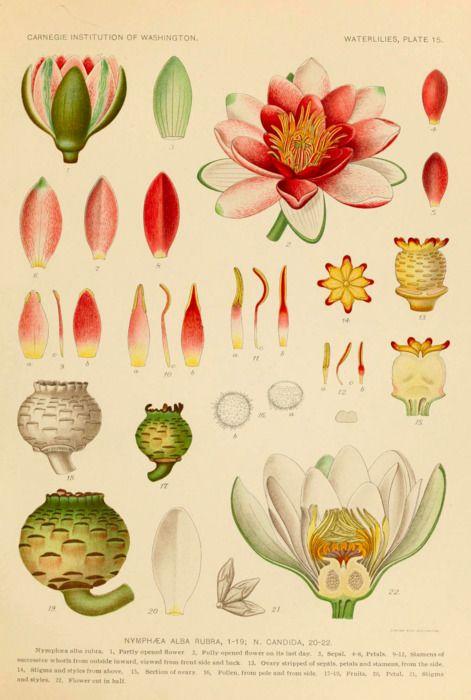 Scientific Illustration Scientific Illustration Botanical Prints Botanical Drawings