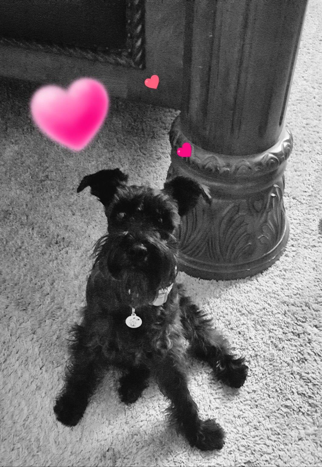 I love you mini schnauzer super cute animals las