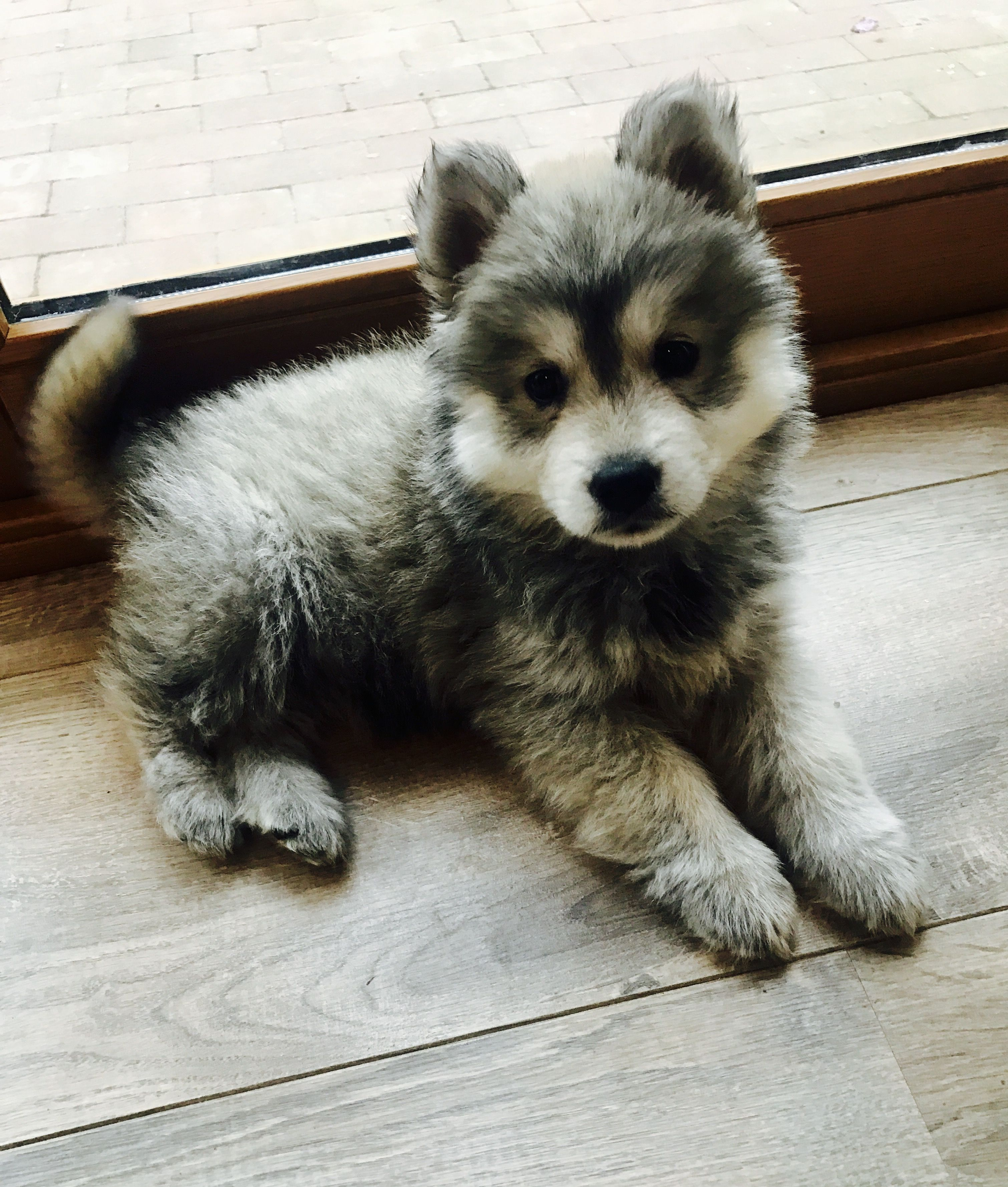 Chusky Chowsky Puppy Hybrid Dogs Mixed Breed Dogs Cute Dogs