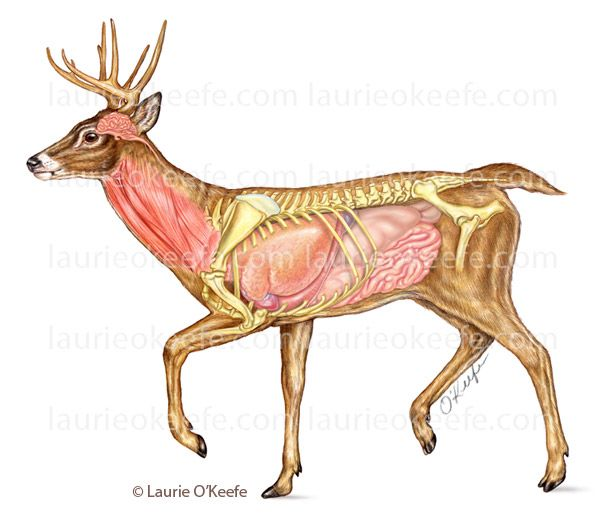 Deer Anatomy Illustration By Laurie Okeefe Anatomy In 2019