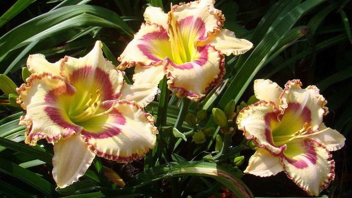 Hemerocallis Lady Betty Fretz