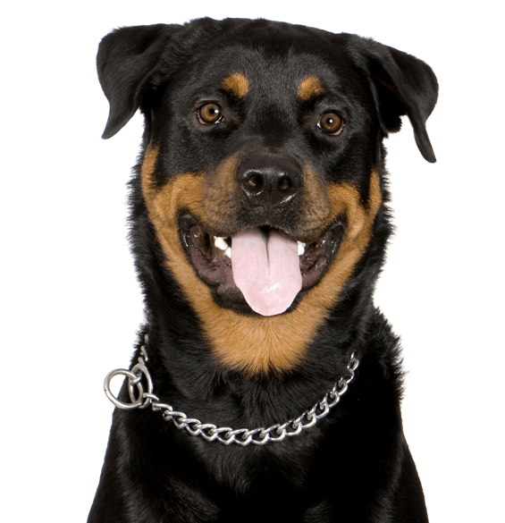 Rottweiler Puppies For Sale Adoptapet Com German Shepherd Rottweiler Mix Breed Info Facts Pictures Germ In 2020 Rottweiler Puppies For Sale Rottweiler Rottweiler Dog