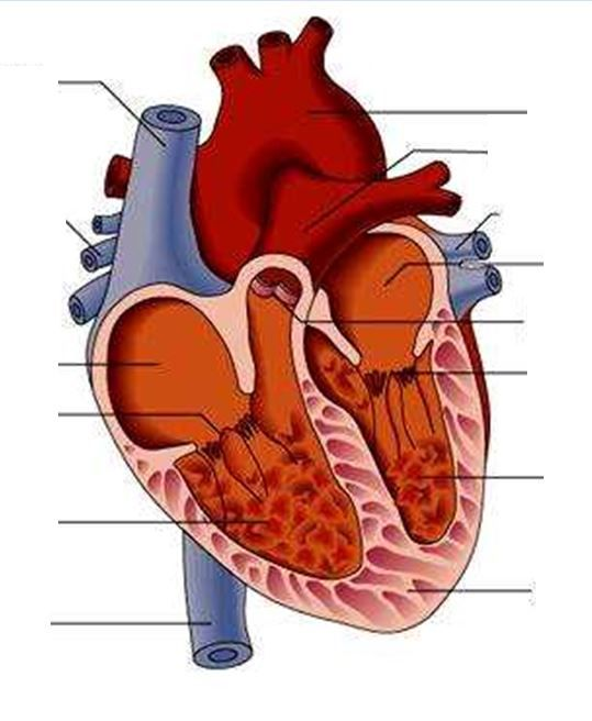 A PowerPoint giving an overview of the circulatory system ...