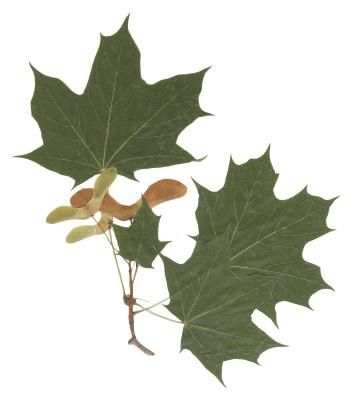 Do Maple Trees Drop Helicopters Once A Year Maple Tree Seeds Maple Tree Growing Tree