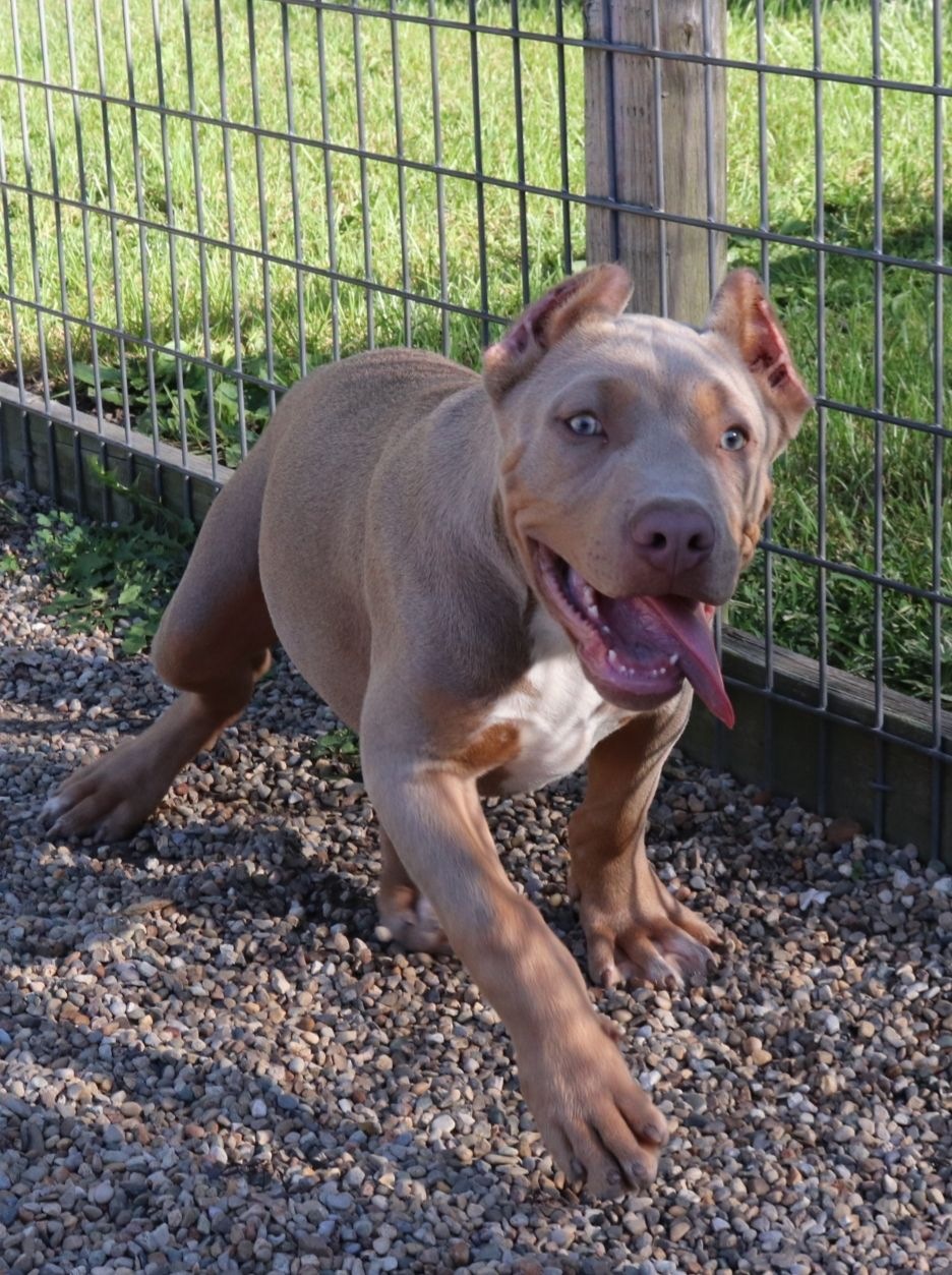 Badblood Kennels Has A Male Lilac Tri Color American Bully For Sale With Top Bloodlines Great Bone Structure Show