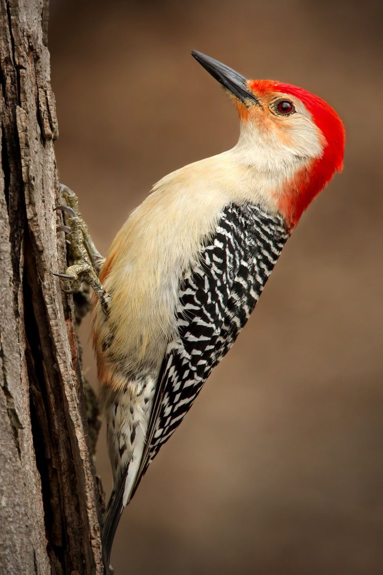 Red Bellied Woodpecker by Scott Denny These come to my