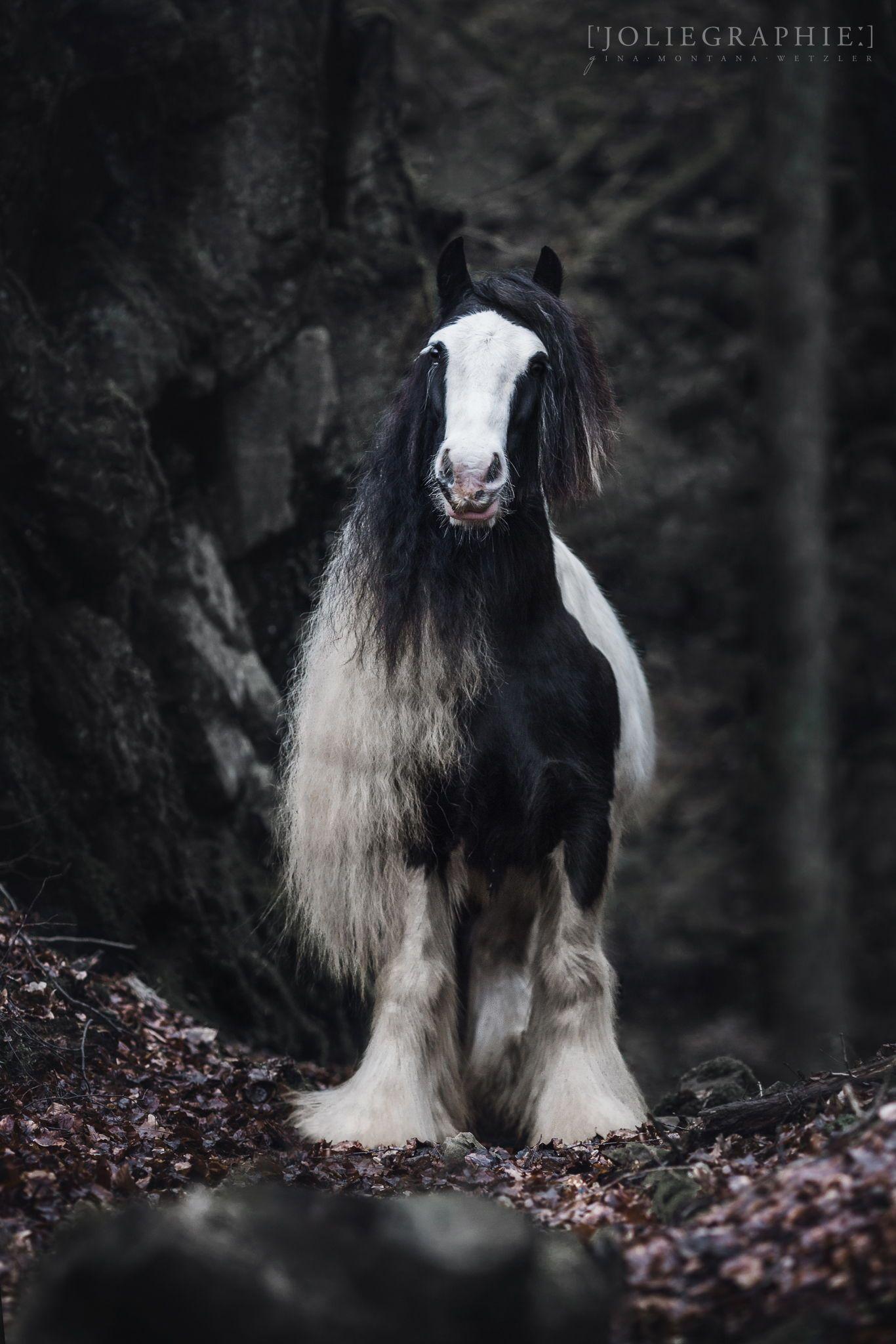 Tinker Pferd Im Portrait Tinker Horse In Portrait In 2020 Pferde Fotografie Pferdefotografie Susseste Haustiere