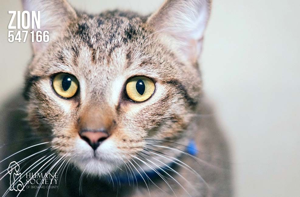 Do you have room in your heart (and home) for Zion (547166). He's looking for his Valentine! #meow #cat #adopt