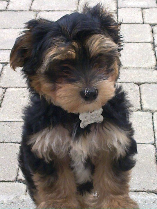 Testimonials Morkies Morkie Poo Pups G T A Poodle Puppy