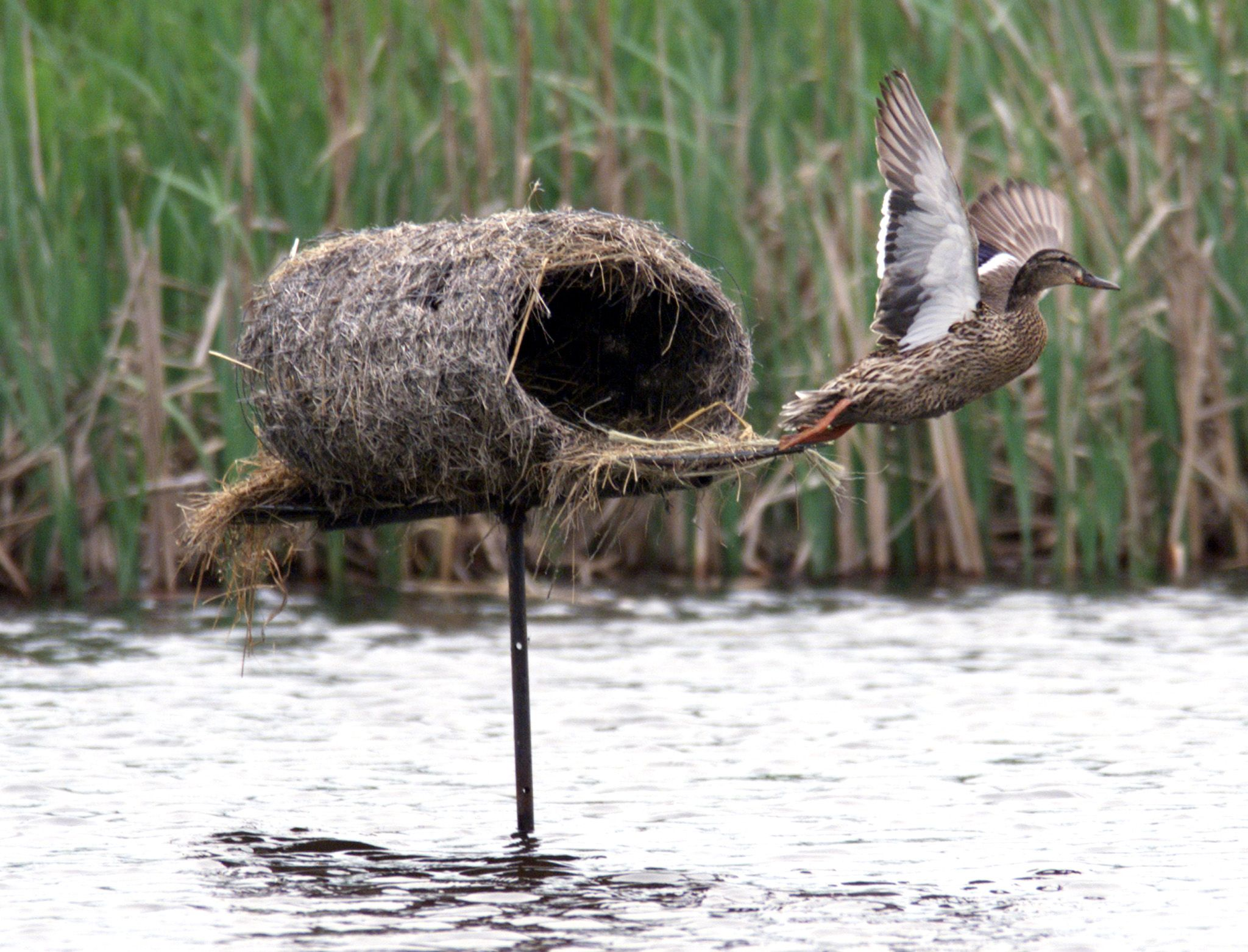 Farm Pond Goose Hunting