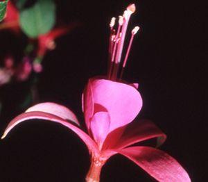 Fuschia Flower Essence Fuschia Flower Remedy Flower Essences Fuchsia Flower Flower Remedy