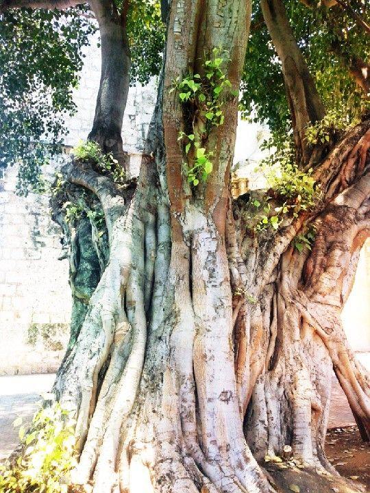 Árbol en plaza de Iglesia de las Mercedes