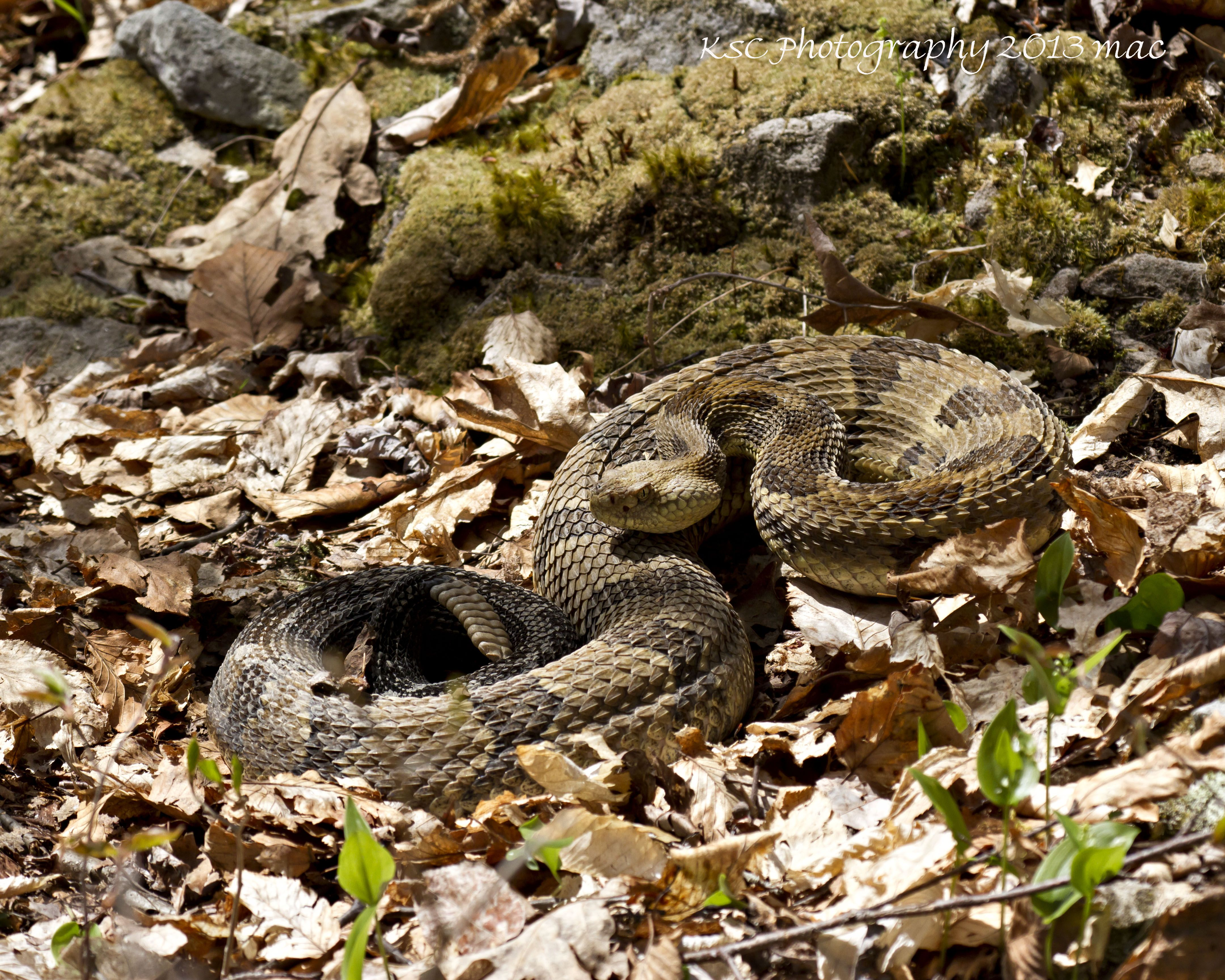 79 best snakes images on pinterest snakes lizards and amphibians