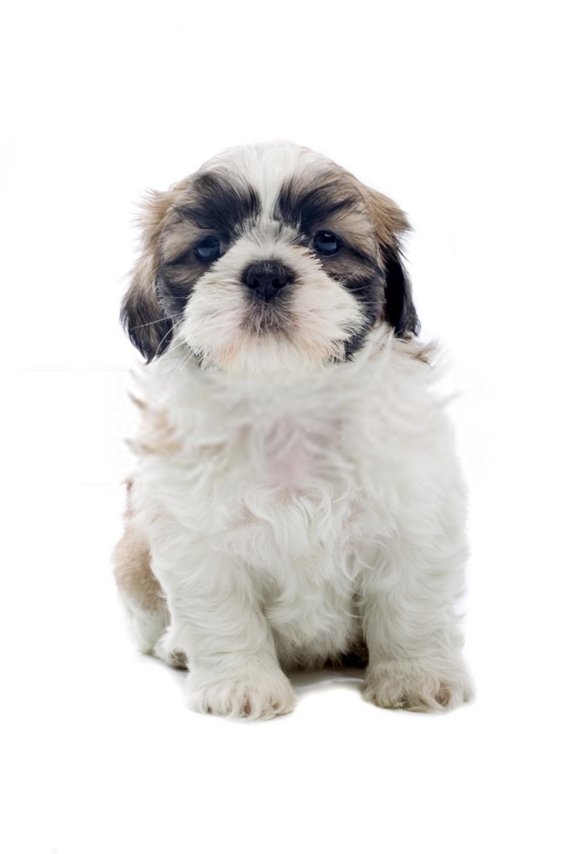 Shih Tzu Puppy Baby Shih Tzu Puppies Shih Tzu Puppy Baby Puppies Shih Tzu Puppy