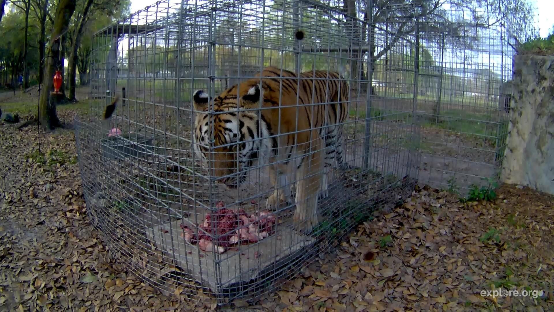 Lion vs Tiger? Watch live video of lions and tigers