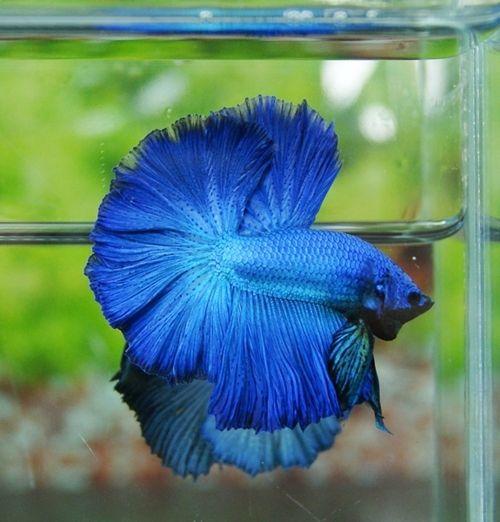 Get a blue pet fish my for Pet betta fish