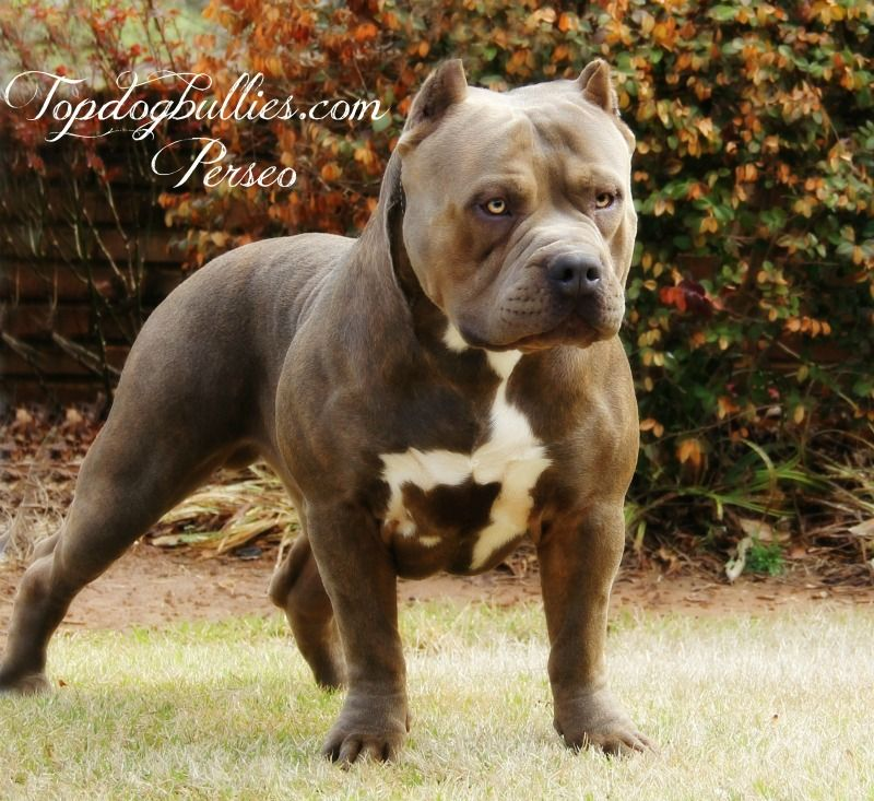 Xl Ameriican Pitbull Terrier